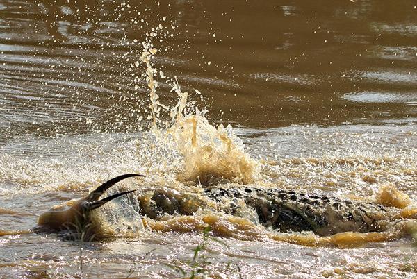 黑斑羚被渐渐拖入水中。
