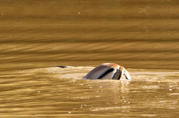 鳄鱼带着猎物沉入水中。