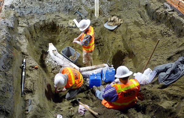 伯克博物馆现有25个猛犸化石。