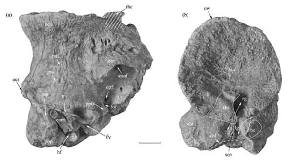 短吻柴达木兽(Tsaidamotherium brevirostrum),正型标本(史勤勤供图)