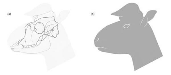 柴达木兽头骨及下颌线条合成图(a)和头部复原图(b)(史勤勤供图)