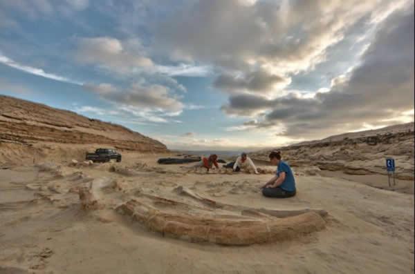 古生物学家判断这些骨架化石的年龄在600万-900万年间。而这个巨大的鲸鱼墓地并不是一次性形成的,这些鲸鱼的死亡大约跨越了1万余年的时间。