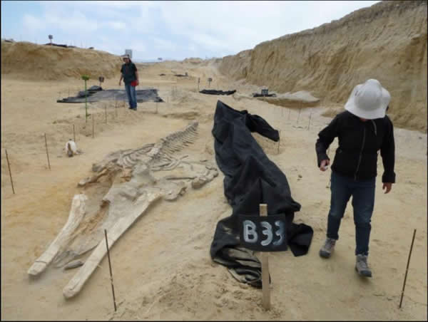 科学家们将智利的巴伦那山丘(Cerro Ballena)视为古生物学的藏宝地。类似的藏宝地还有加利福尼亚的拉布雷亚沥青坑,以及位于犹他州东北部和科罗拉多州西北部