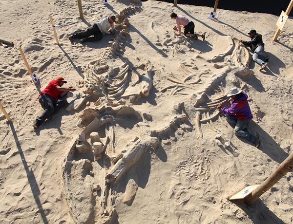 古生物学家发现海洋哺乳动物集体搁浅化石