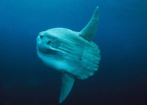 海洋中层鱼翻车鲀(Mola mola)