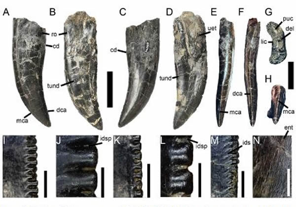 格氏蛮龙Torvosaurus gurneyi化石
