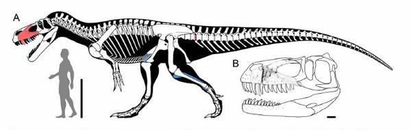 格氏蛮龙Torvosaurus gurneyi骨骼示意图