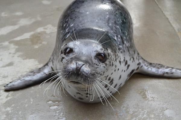 新研究显示斑海豹有极好的听力
