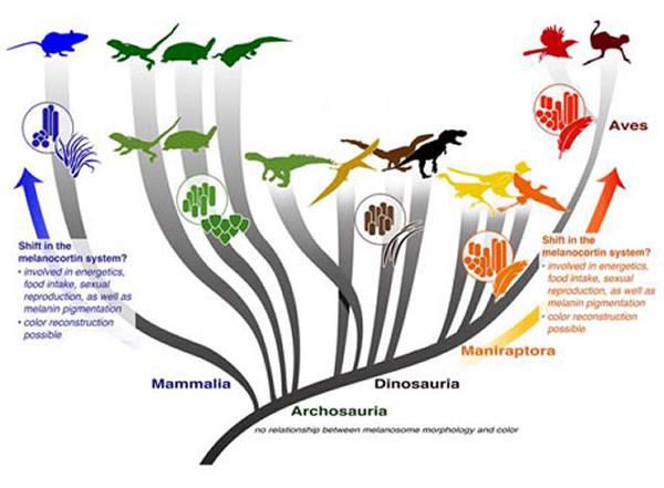 黑素体在羊膜类脊椎动物中演变示意图