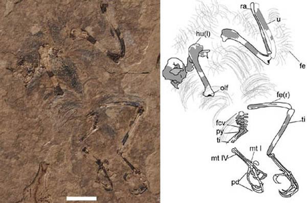 楚雄微鸟(Parvavis chuxiongensis gen. et sp. nov.)正型(王敏供图)。