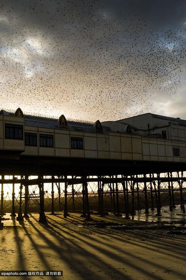 英国威尔士大批椋鸟掠过黄昏的天空
