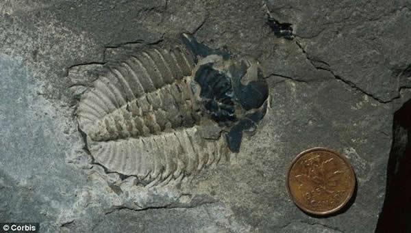 图中是三叶虫化石,是Tamisiocaris的主要食物之一。