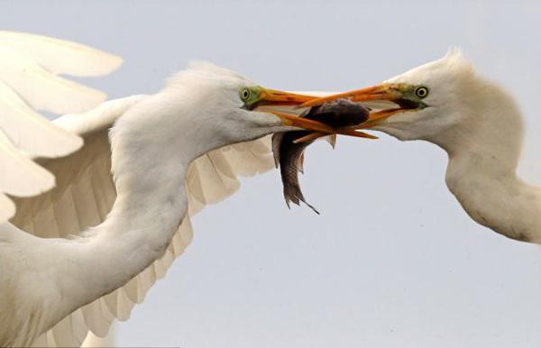 匈牙利白鹭为夺鱼上演空中大战