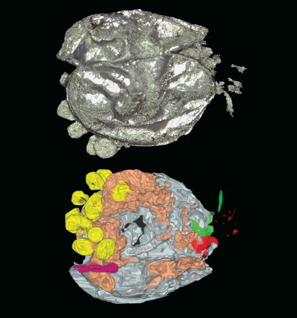 X射线和CT扫描的介形亚纲动物Luprisca incuba,它的蛋和可能已经孵化的幼崽在图片中显示为黄色。