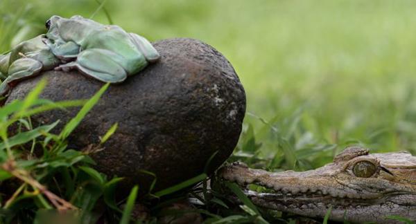 热恋中的印度尼西亚树蛙未察觉身后一只张开大嘴的鳄鱼