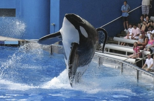 A killer whale in performance at SeaWorld.