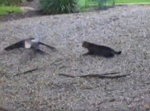 黑猫挥掌吓退鳄鱼