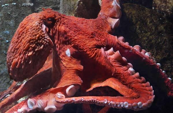 巨型太平洋章鱼