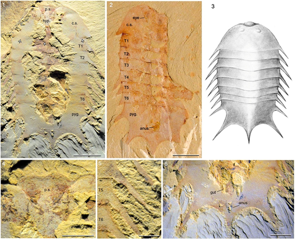 """澄江生物群发现一种距今5.3亿年的新物种——""""冠尾海丰虫"""""""