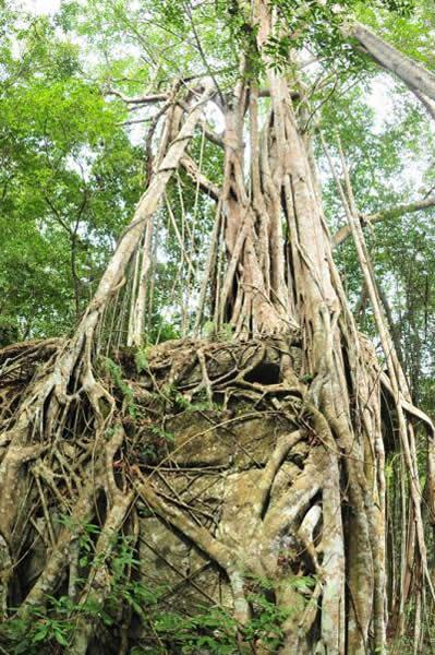 生长在喀斯特岩石上的榕树