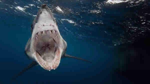 """新研究认为鲨鱼并非保留了远古祖先特征的""""活化石"""""""