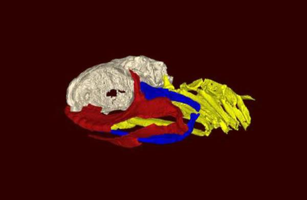 三维重建Ozarcus mapesae的头骨。脑壳被显示为浅灰色,下颚显示为红色,舌骨弓以蓝色显示,而鳃弓显示为黄色。