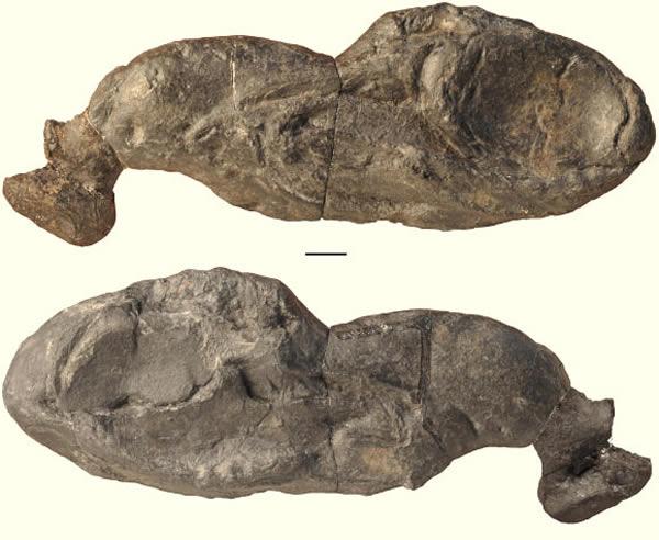 鲨鱼新物种Ozarcus mapesae头骨化石