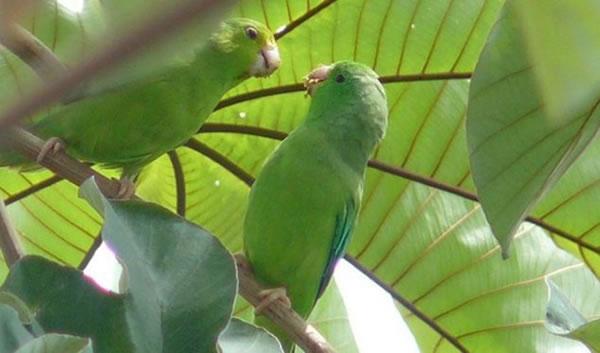 研究称鹦鹉会在幼鸟刚出生没多久就给它们取好了名字