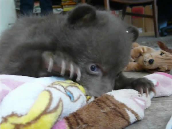 美国加州动物收容中心的小黑熊睡姿超级可爱