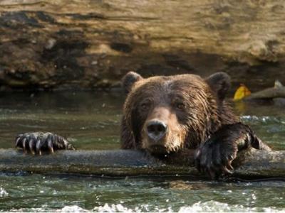 猪交配图_加拿大一只幼熊捕到一条大三文鱼