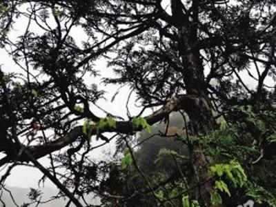 """重庆大巴山国家级自然保护区的植物""""活化石""""崖柏"""