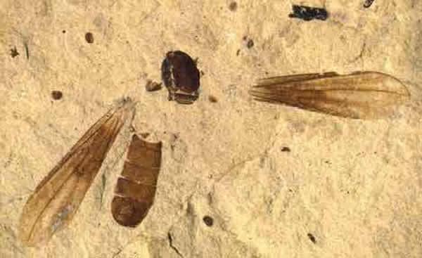 新物种被命名为Metanephrocerus belgardeae