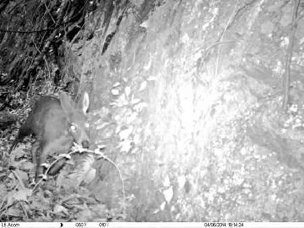 四川都江堰市龙溪虹口国家级自然保护区首次拍到国家一级保护动物林麝