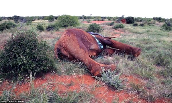 肯尼亚察沃国家公园一头4吨重大象被偷猎者毒箭所伤身中剧毒