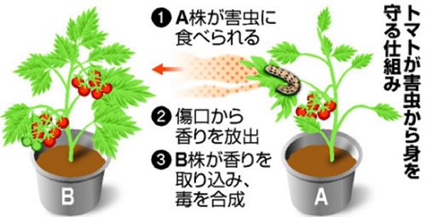 日本科学家揭示植物用气味传递虫害信息的成因
