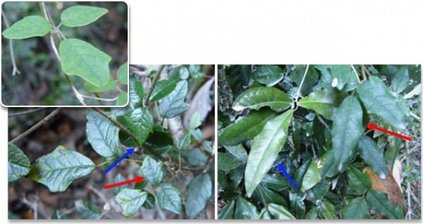 木本藤蔓Boquila trifoliolata