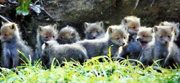日本一群小狐狸排排站等妈妈