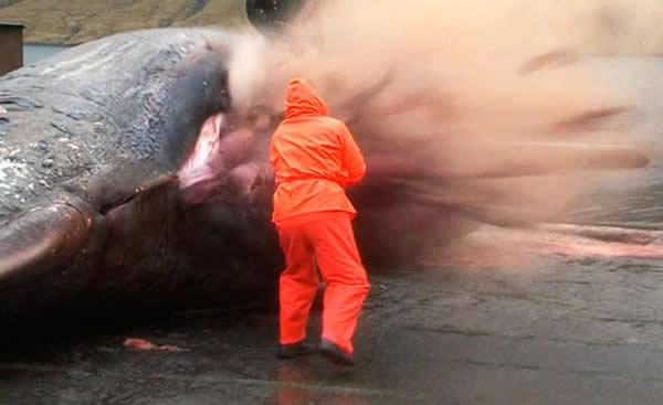 11月生物学家解剖巨大抹香鲸尸体时发生大爆炸(神秘的地球)-加拿