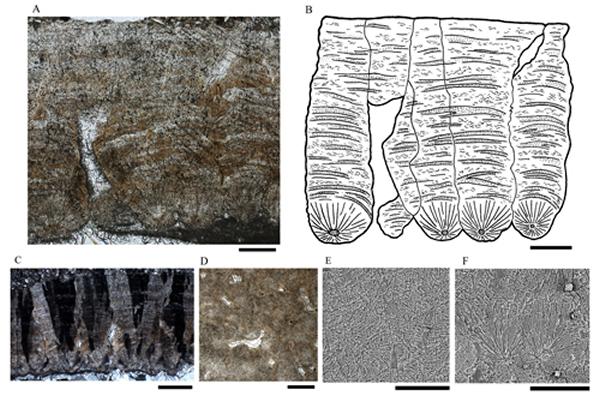 金国微椭圆蛋(Parvoblongoolithus jinguoensis oogen. et oosp. nov.)蛋壳显微结构,A, B, E, F, 比例