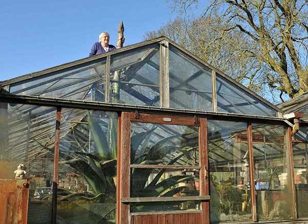 英国巨型仙人掌近5米高穿破屋顶