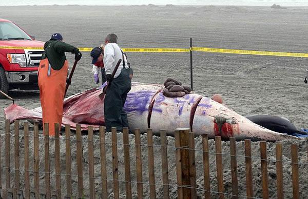 美国海岸5米鲸鱼尸体遭涂鸦