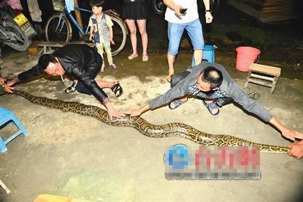 徒手制服3米长大蟒蛇