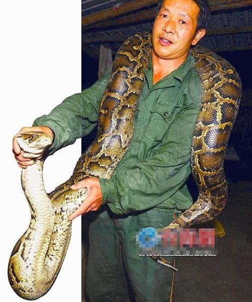 姜姓男子有丰富的捉蛇经验,面对大蟒蛇亦毫不害怕。