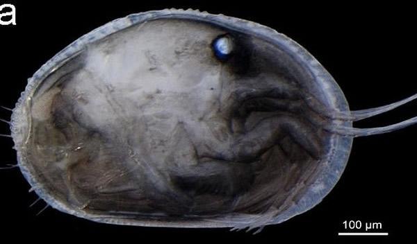 世界上最古老的精子被发现藏在澳洲1700万年前淡水虾化石里
