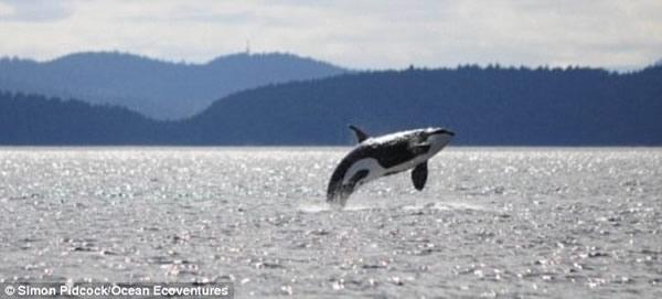 生活在美国西部海域的一头103岁虎鲸