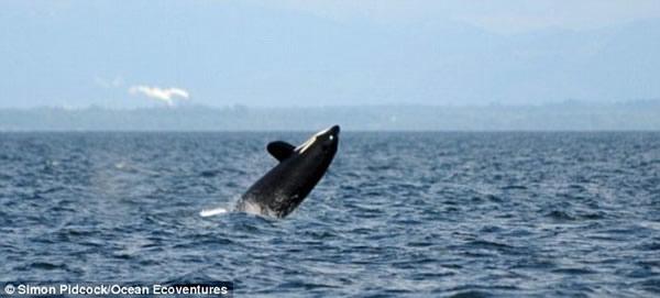 """这头名叫""""外婆""""的虎鲸据说是其所在族群的""""女首领"""""""