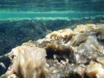 """""""岩石鼻涕""""并非入侵生物而是一种本地化生物"""