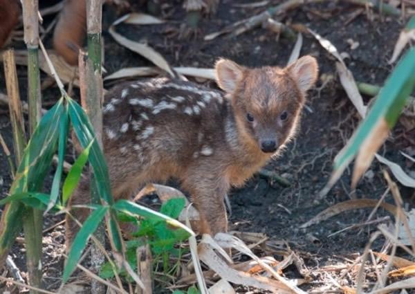 美国纽约动物园诞全球最细小鹿