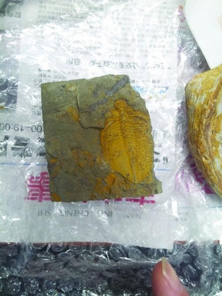 王冠虫化石