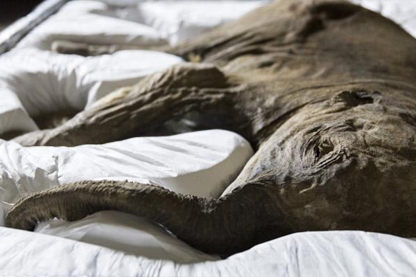 它看起来就好像在睡觉一样。这只猛犸象幼崽是从西伯利亚的永冻土中挖掘出来的,它已经在永冻土中埋藏了4.2万年。
